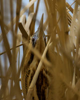 Bittern in hiding (normal state)