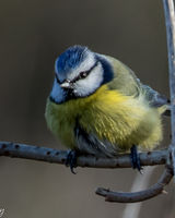 Blue tit in the cold and wet