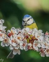 Blue tit on blossom branch