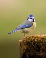 Blue tit posing on a mossy log