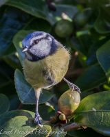 Blue tit with a football