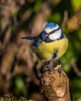 Blue tit with a mealworm