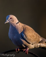 Collared dove- red eye