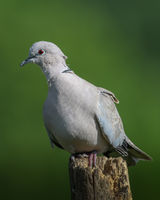 Collared dove green background