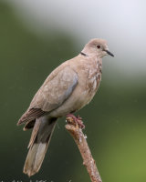 Collared dove is very wet