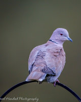 Collared dove on an arch