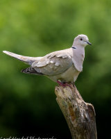 Collared dove on an old tree stump