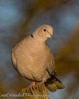 Collared dove perching