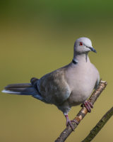 Collared dove in the evening sun
