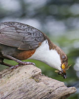Dipper searching for food