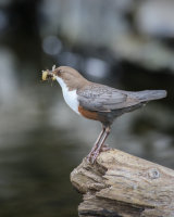 Dipper on a log with a mouthful of grubs