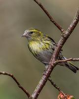 Female siskin on a branch