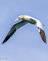 Gannet in flight hunting