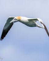 Gannet in flight wings down