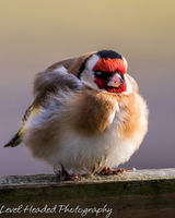 Goldfinch in a duvet of feathers