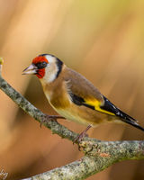Goldfinch in fine plumage