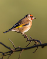 Goldfinch in the evening sun