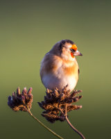 Goldfinch in the setting sun