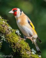 Goldfinch in mid stride