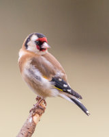 Goldfinch on a perch
