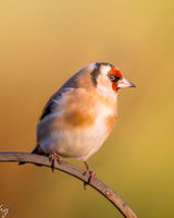 Goldfinch on an arch