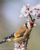 Goldfinch on blossom branch