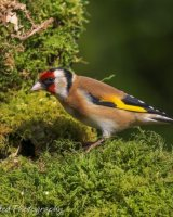 Goldfinch on moss covered log