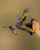 Goldfinch pair - abstract