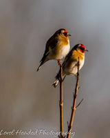 Goldfinch pair sunbathing