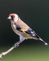 Goldfinch perching in the sun dark background