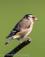 Goldfinch perching in the sun