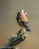Goldfinch perching on a mossy branch