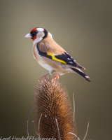 Goldfinch perching on a teasel