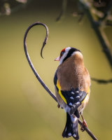 Goldfinch perching on an unusual stem