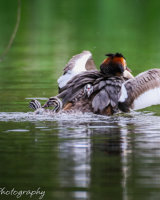 Great crested grebe - honey I dumped the kids