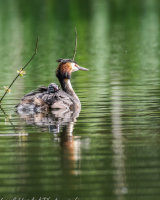 Great crested grebe with young on it's back