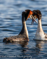 Great crested grebes - love