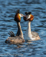 Great crested grebes more courting