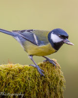 Great tit eating a sunflower heart