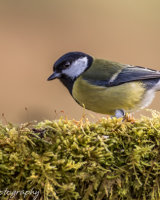 Great tit on a mossy log