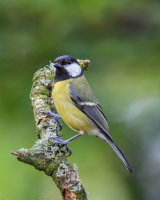 Great tit on lichen covered perch