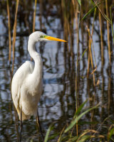 Great white egret - close up