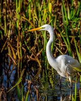 Great white egret - habitual image