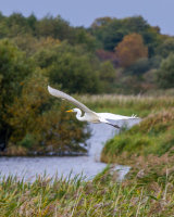 Great white egret in flight over reed bed