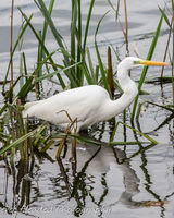 Great white egret in hunting mode