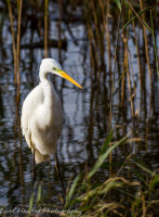 Egret - Ardea alba
