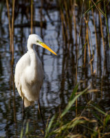 Great white egret in the sun