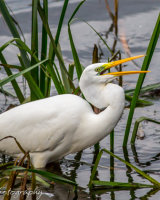Great white egret with a little snack