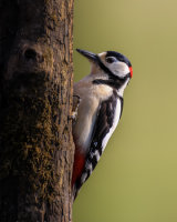 Greater spotted woodpecker sly look