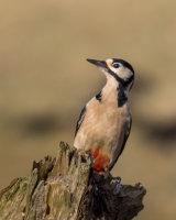 Greater spotted woodpecker sunbathing